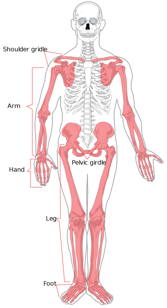 1200px-Appendicular_skeleton_diagram.svg.png