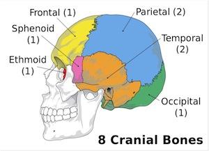 8_cranial_bones