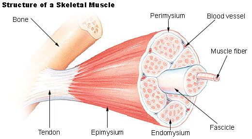 skeletal_muscle.jpg