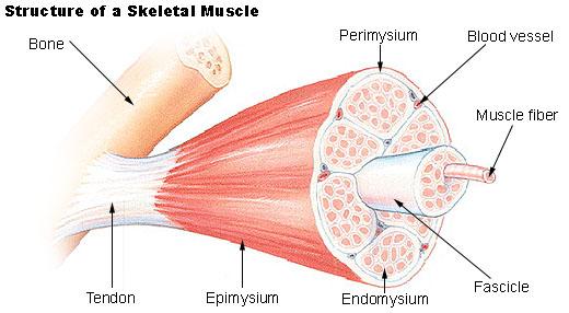 skeletal_muscle.jpg