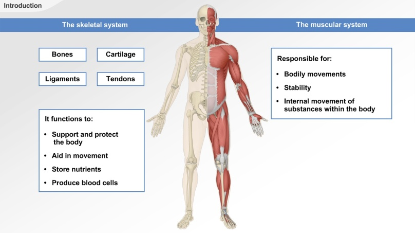 the musculoskeletal system is composed of two systems the muscular system and the skeletal system because of the main common functions of the two systems