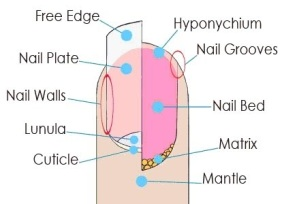 Image result for hyponychium